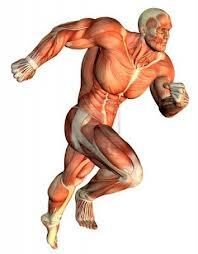 Muscles 3D